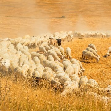 Herd of sheep in a field of Tuscany