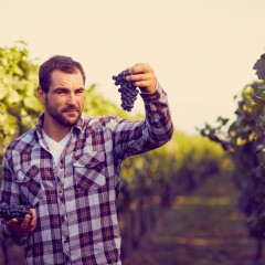 Winemaker in vineyard picking blue grapes, toned.