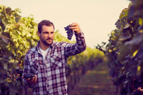 Winemaker in vineyard picking blue grapes, toned.